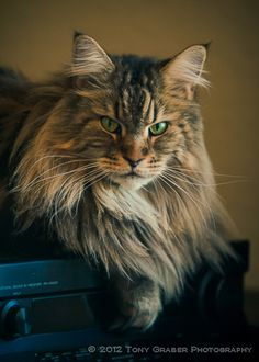 Sunny. A Maine Coon cat.  He is registered with the Cat Fanciers Association.