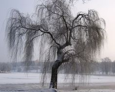 Weeping willow - Winter