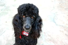 standard poodle Darla <3