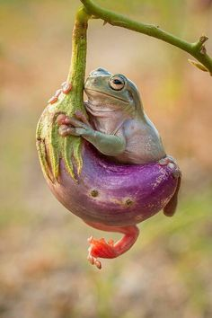Frog On an Aubergine Plant