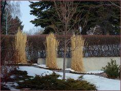 Calamagrostis acute 'Avalanche'