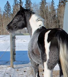 Image result for RDK Deceived - black tobiano stallion.