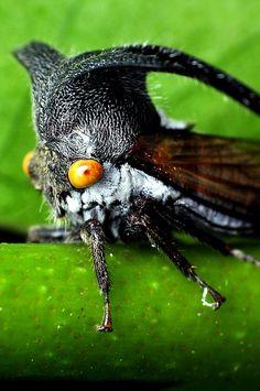 Planthopper | Flickr