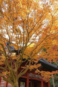 個人的には鎌倉で一番好きな紅葉スポットは妙本寺です。