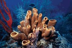 Photo about Colorful red finger sponge and brown tube sponges on Belize reef. Image of color, ocean, caribbean - 173391 Belize Barrier Reef, Sea Sponge, Marine Biology, Underwater World, Underwater Bedroom, Sea World, Tropical Fish, Sea Creatures, Under The Sea