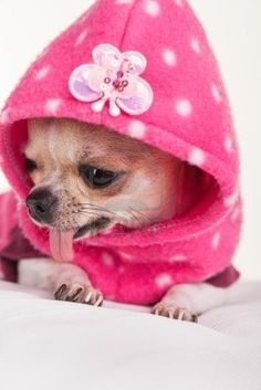 A chihuahua dressed in pink. i can't help myself these guys are just to cute