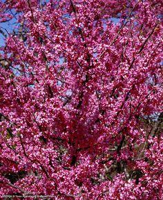 Beautiful Texas Redbud, I LOVE my redbud tree, this isn't it but mine gets loaded just the same.