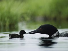 A Tiny Loon Chick Being Fed by its Parent Photographic Print