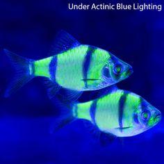 glo Barb Fish | Home > Live Aquarium Fish > Freshwater Fish & Plants > GloFish®