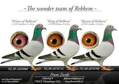 Image result for racing pigeons Homing Pigeons, Chicken Breeds, Racing, Image, Breeds Of Chickens, Running, Raising Chickens, Auto Racing
