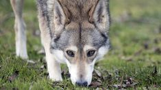 What Do Wolfdogs Want? — The Atlantic Like Animals, Zoo Animals, Wolfdog Hybrid, Dog Dna, Czechoslovakian Wolfdog, Save Wildlife, Belgian Shepherd, Serval, Wild Wolf