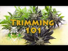 how to harvest and dry cannabis and types of trimming shears . Growing Weed, Weed Pictures, Weed Pics, Cannabis Cultivation, Marijuana Plants, Cannabis Shop, Drying Herbs, Gardens, Ganja