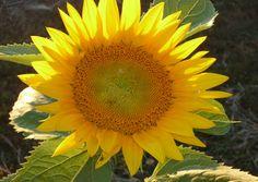 Sunflowers, DIIGTIAL DOWNLOAD,  flower decor, sun flower decor, garden decor, fine art photography
