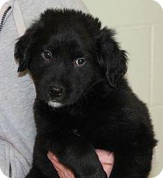 Prattville, AL - Border Collie Mix. Meet Stash 19815 a Puppy for Adoption.