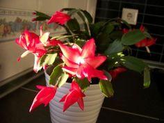 Planta de invierno: cactus de navidad con información para cuidarlo