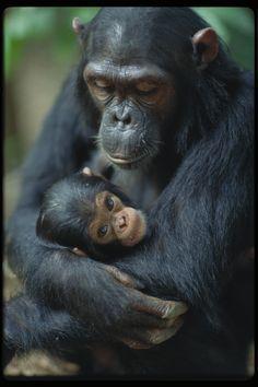 Loving. Intelligent. Our family. Chimpanzees - Phenomenal.