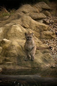 Puma (by John Akar)