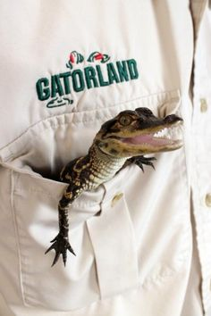 Gatorland wranglers can teach you all you'll ever want to know about Florida Alligators (If you're a Noles fan, all you need to know is how to chop one!)