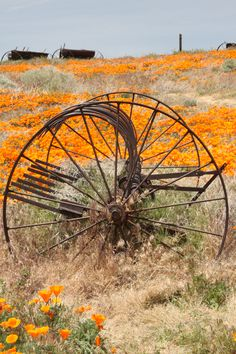 In the field of California poppies