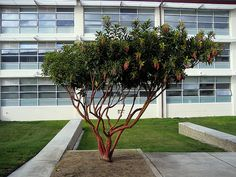 This is the cultivar 'Marina'. Fortunately the grounds crew haven't tried to turn it into a hedge. The building behind is CSUMB's student services building.