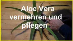 Aloe Vera vermehren und Pflegen Aloe Vera Kindel Ableger Steckling selbe...