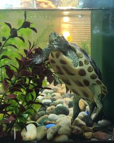 Best Canister Filters for Turtles (Buying Guide) Video Credit: Turlte Under Filter on IG Turtle Aquarium, Turtle Pond, Turtle Care, Pet Turtle, Turtle Tank Filters, Happy Animals, Cute Animals, Turtle Tank Setup, Coral