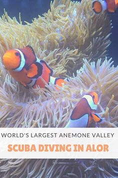Scuba diving in Alor, Indonesia - where to dive and how to see the world's largest anemone valley! #scubadiving #wonderfulindonesia