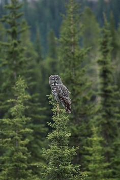Great Grey Owl ~ wormwould @ flickr #wildlifephotography