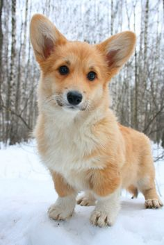 I would give anything for a corgi. They are so smart, bossy, independent, adorable ... Perfect medium, fluffy dog :))