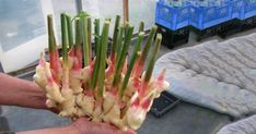 Evde Zencefil Nasıl Yetiştirilir? — Bilgi Doktoru Celery, Asparagus, Vegetables, Flowers, Nature, Food, Gardening, Balcony, Studs