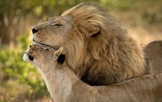 Breathtaking Photos That Will Blow Your Mind----Just two lions in love.