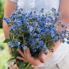 Chinese Forget-Me-Not Cynoglossum Seeds (Cynoglossum amabile) + FREE Bonus 6 Variety Seed Pack - a $30 Value!