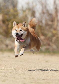 GANREF | 柴犬