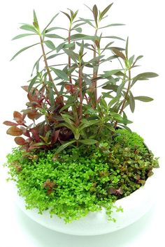 "Képtalálat a következőre: ""wabi kusa in nano cube"" Small Water Gardens, Container Water Gardens, Indoor Water Garden, Container Gardening, Ikebana, Aquatic Plants, Air Plants, Indoor Plants, Garden Terrarium"