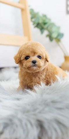 Poodles are considered to be the best breeds to own as there are extremely sensitive and much attached. Poodle puppies are one of the cutest and eye-catching puppies ever. #poodlepuppy #poodlepuppytraining #poodlepuppies #cutepoodlepuppies #dogsandpuppiespoodle #dogsandpuppies #cutedogs Poodle Mix Puppies, Dogs And Puppies, Cute Dogs, Animals, Animales, Animaux, Animal, Animais, Funny Dogs