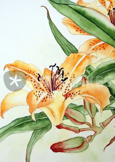 """Taglilie Painting by Maria Inhoven buy now as poster, art print and greeting card. Lily Painting, Watercolour Painting, Watercolor Flowers, Watercolors, Bright Art, Watercolor Projects, Botanical Art, Hibiscus, Flower Art"