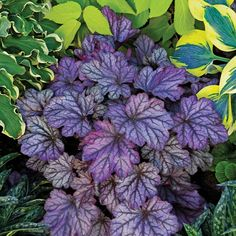 Dolce® 'Blackberry Ice' - Coral Bells - Heuchera hybrid Exposure:Sun or Shade Season: Fall Mature Size: 20 - 26 Inches