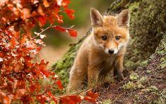 Young Fox Cub Exploring