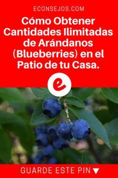 Arándanos cultivo | Cómo Obtener Cantidades Ilimitadas de Arándanos (Blueberries) en el Patio de tu Casa. | Cómo Obtener Cantidades Ilimitadas de Arándanos (Blueberries) en el Patio de tu Casa.