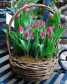 Beautiful Spring Tulips by loveliegreenie