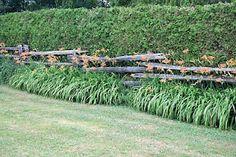 Cedar Hedge for Border