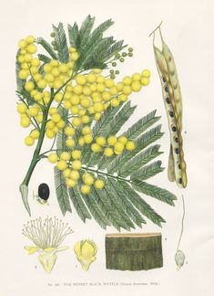 Acacia decurrens Green Wattle family FABACEAE artist: Edward Minchen from: 'The Flowering Plants and Ferns of New South. Australian Wildflowers, Australian Native Flowers, Graphic Design Illustration, Botanical Illustration, Illustration Art, Nature Illustrations, Vintage Botanical Prints, Botanical Drawings, Botanical Flowers