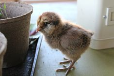 How to take care of baby chicks: Tips and tricks for your new flock! I felt as nervous as a new mom when I brought my first flock of chicks home with me. Organic Chicken Feed, Baby Chicks, Our Baby, New Moms, New Baby Products, Idaho, Roots, Babies, Tips