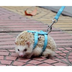 NEW Adjustable hedgehog Harness for Training Playing traction rope High Quality Baby Care baby hedgehog care Super Cute Animals, Cute Little Animals, Cute Funny Animals, Hedgehog Care, Cute Hedgehog, Hedgehog House, Hedgehog Accessories, Dog Names, Exotic Pets
