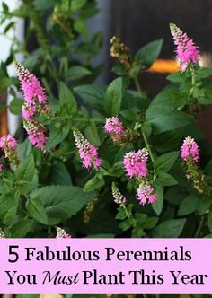 Five fabulous perennials for your garden you just have to try this year.  My favorite is the Speedwell (Veronica)!!!