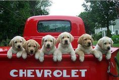 Puppies in the back of a pick up