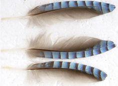 Garrulus glandarius - Eurasian Jay feathers