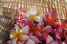I love the colour of these plumeria flowers Pretty In Pink, Beautiful Flowers, Beautiful Things, Plumeria Flowers, Hawaiian Flowers, Pink Flowers, Ordinary Girls, Bouquet, Language Of Flowers