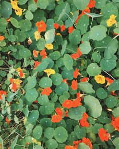 nasturtium in the wild