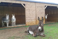 Most donkeys hate the rain but not Redwings adoption star Wiggins!